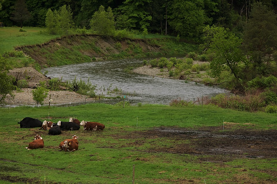 cows on pineland farms